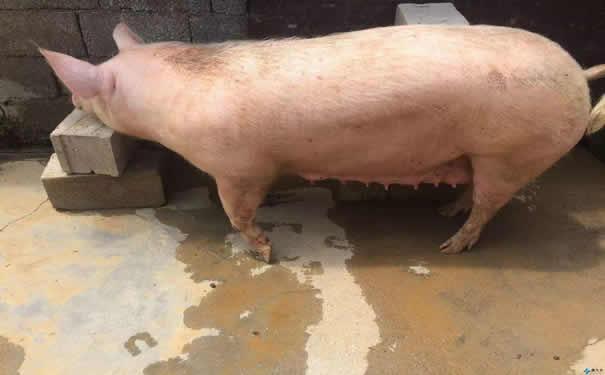 母猪营养缺乏病症状