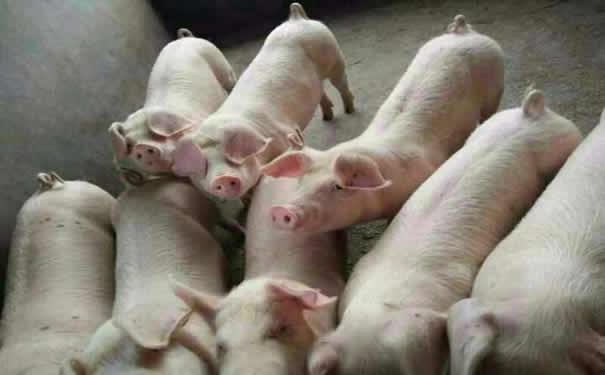 小仔猪高热病症状