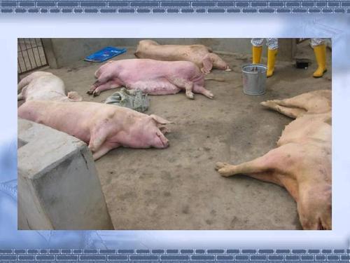 母猪高热病症状