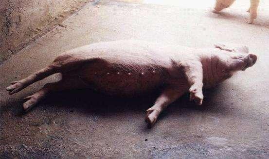 猪脑炎症状